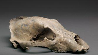 De schedel van de Brugsebeer